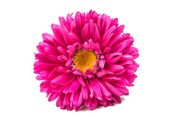 beautiful chrysanthemum isolated