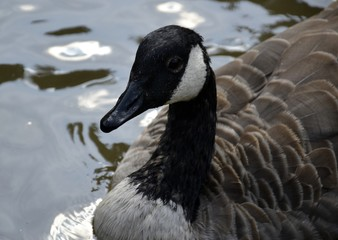 Canada goose and water reflections