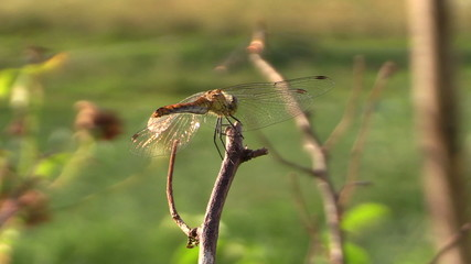 Dragonfly insect on wood branch under warm summer sun