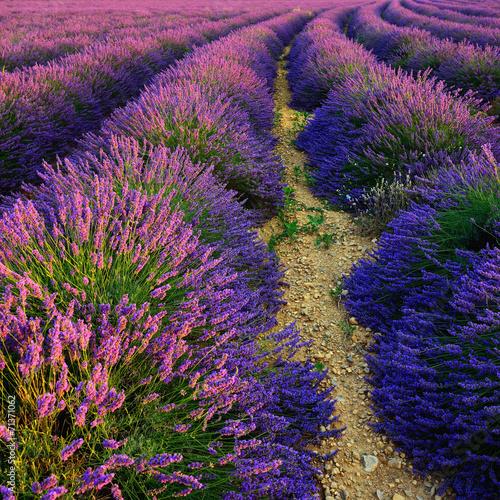 Lavender field - 71371062