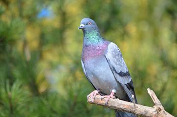 Красивый голубь.