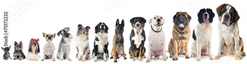 canvas print picture group of dogs