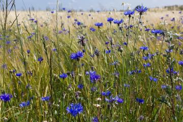 Blue corn flowers field