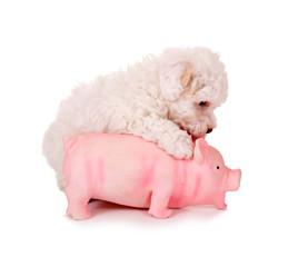 Kleiner Welpe mit Schwein