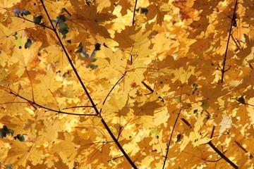 Tree - maple leaves