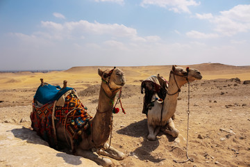 Two camels in the desert. Egypt