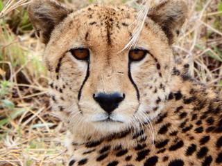 Cheetah wound