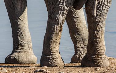 Feet of a Elephant, Etosha, Namibia
