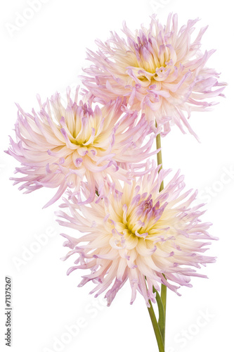 Foto Spatwand Dahlia dahlia