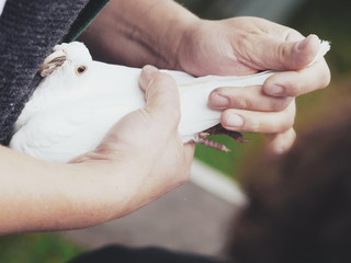 white dove in hand