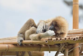 Gibbone in relax