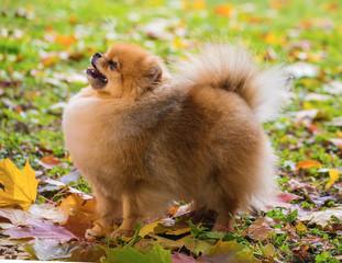 The spitz-dog in autumn park