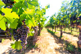 Fototapety Bunches of red wine grapes hanging around