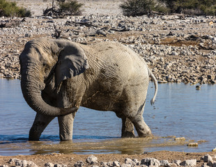 Elephant taking a mud-bath at Okaukuejo, Etosha, Namibia