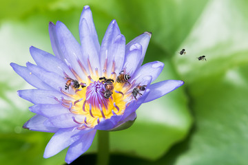 Purple lotus with bees
