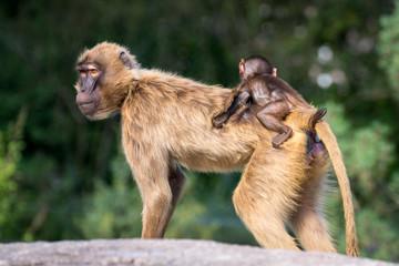 Pavian-Baby auf Rücken der Mutter