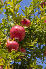 Pomegranates on the tree
