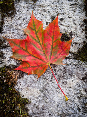 Red fall leaf on rock