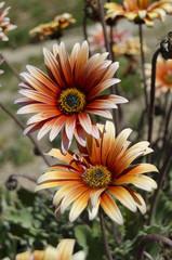 fiori 98