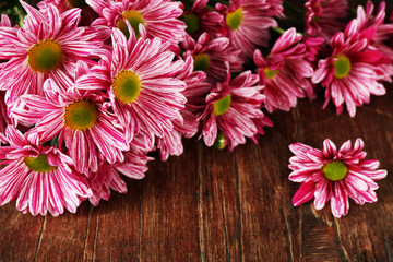 Purple chrysanthemum on wooden background