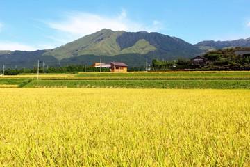 黄金色の稲穂と阿蘇の風景