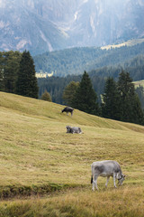 cows grazing on alpine meadow in Dolomites