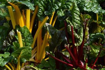 Gelber und roter Mangold (Beta vulgaris subsp. vulgaris)