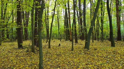 Walk in the autumn yellow-green woods with steadicam