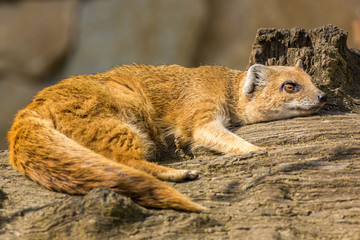 Lazy mongoose lying.