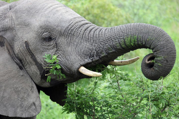 Head of a young male African elephant feeding on acacia