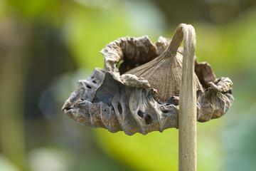 dry lotus leaf