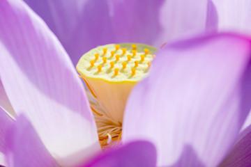 Bloom Lotus Flower