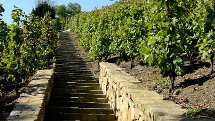 vineyard (grape wine) - staircase - blue sky - sunny