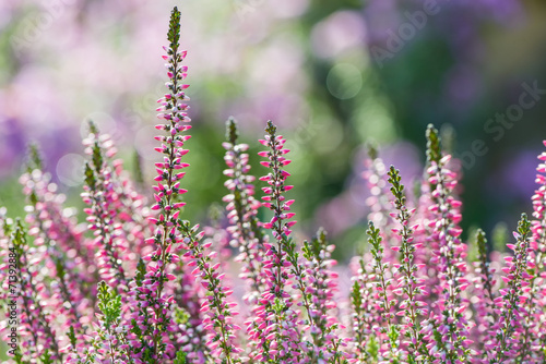 Foto op Canvas Lilac Heather flowers