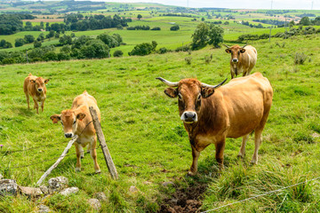 Salers cows in the Cantal, France