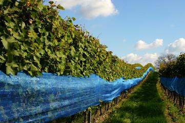 Vogelschutznetz blau im Weingarten