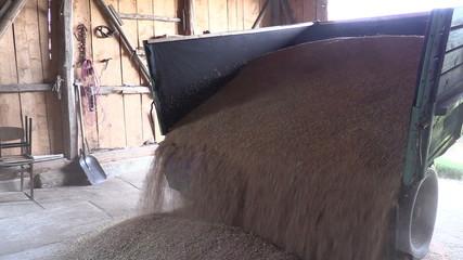 Harvested ripe grain cereal corn unloading from truck trailer