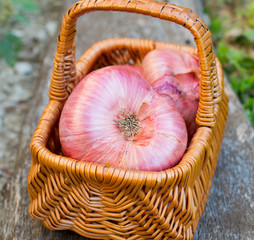 Giant red onions in basket from garden