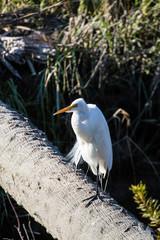 Snowy Egret on Log