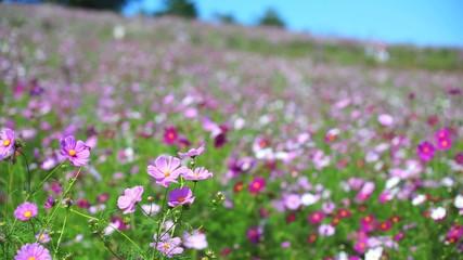 斜面一面に咲くコスモスの花