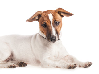 Small dog Jack Russell terrier