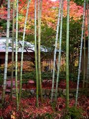 秋の紅葉と竹