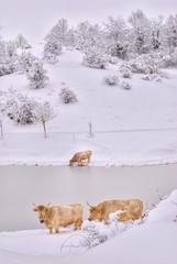 Mucche al pascolo in inverno