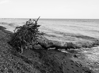 Fallen tree with roots on seashore