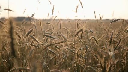 Хлебное поле.