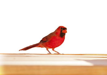 Male Cardinal against a white background