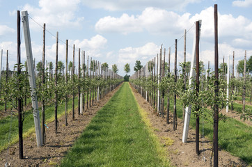 Rows of apple trees in an orchard in Haaften, Netherlands.