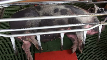 Caged Pigs, Animal Abuse