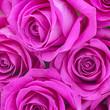 Obrazy na płótnie, fototapety, zdjęcia, fotoobrazy drukowane : pink roses