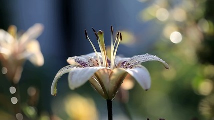 Лилия с каплями росы.